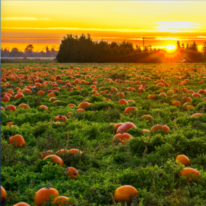 Thanksgiving pumpkin patch