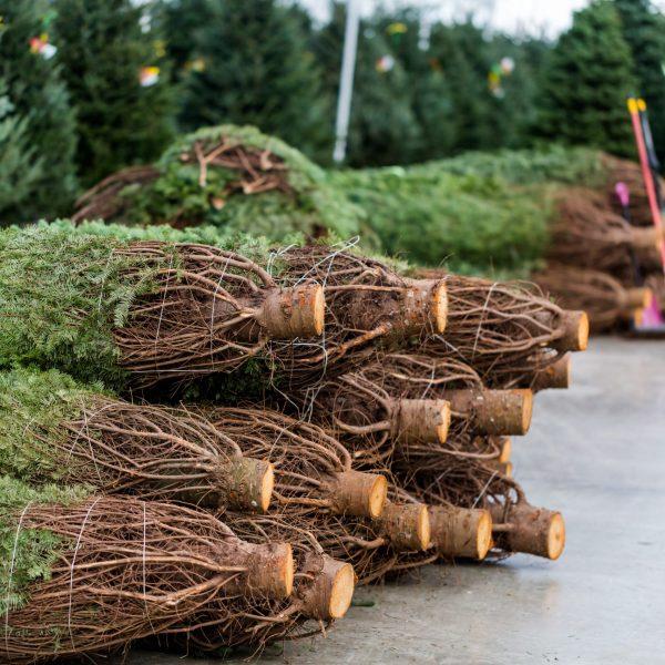 Beautiful,Fresh,Cut,Christmas,Trees,At,Christmas,Tree,Farm.