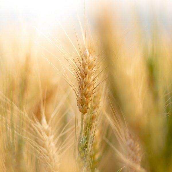 Wheat_Field_pexels-7000424 (1)